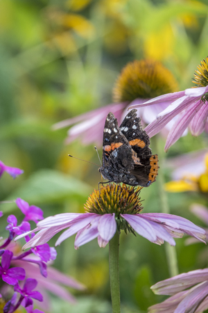 Vanessa atalanta, the red admiral or previously, the red admirable, medium-sized butterfly with black wings, orange bands, and white spots.