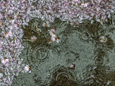 Cherry tree blossoms on the sidewalk during the rain