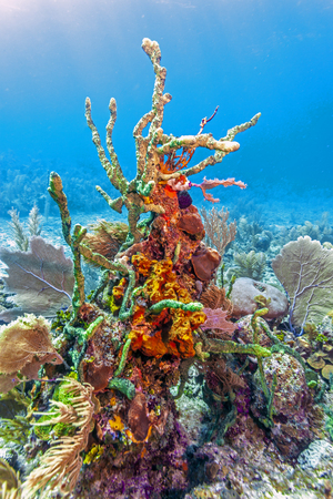 Coral garden in Caribbean off the coast of the island of Roatan, Honduras Stock Photo