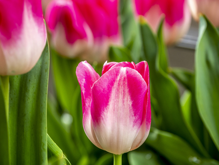 Tulips,Tulipa form a genus of spring-blooming perennial herbaceous bulbiferous geophytes