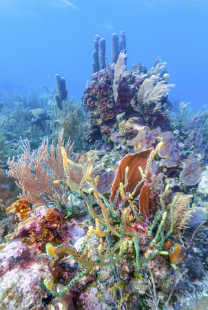Coral garden in Caribbean off the coast of the island of Roatan Honduras