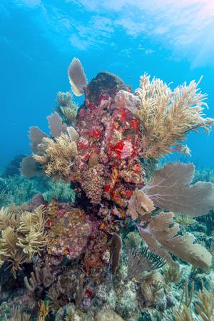 Coral garden in Caribbean off the coast of the island of Raotan Stock Photo