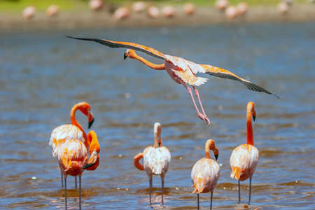 American flamingo,Phoenicopterus ruber, is a large species of flamingo closely related to the greater flamingo and Chilean flamingo 写真素材
