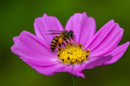 purple flower: Honey bee on a purple flower. Stock Photo