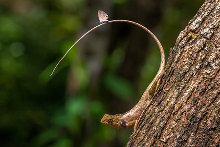 dilema: Butterfly on tail of a lizard.