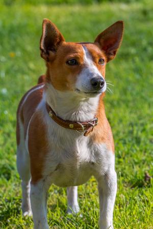 man's best friend: Portrait of a cute jack russell terrier dog.