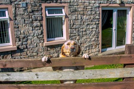 guard dog: Guard dog on duty