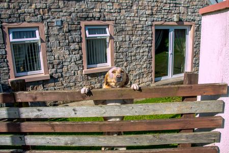 guard dog: Guard dog on duty.