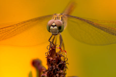 compound eyes: Dragonfly closeup with yellow background. Stock Photo
