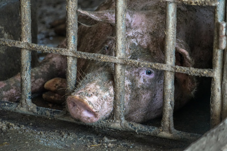 bleak: Sad looking dirty pig in a pen. Stock Photo