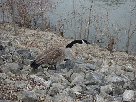 Canadian Goose, Geese, Ducks in the park. Various poses (sleeping, walking, drinking, eating, squacking, and so forth). Outdoor landscape in spring.