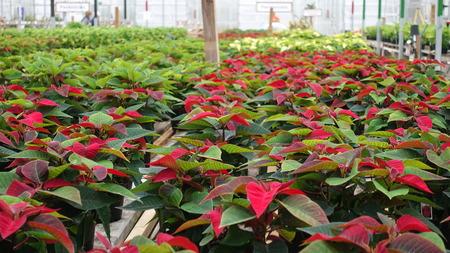 Rows Of Red Christmas Poinsettas Reklamní fotografie