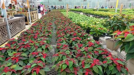 Rows Of Poinsettas In Gardening Center Stock Photo