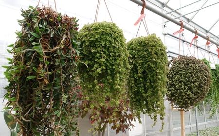 Hanging Plants In Gardening Center