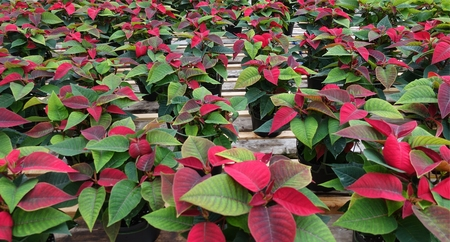 Patch Of Christmas Poinsettas In A Shop