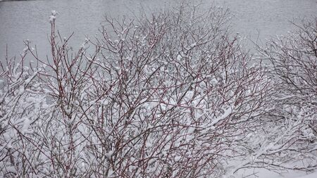 Snow Covered Tree Branches And Foliage In Winter