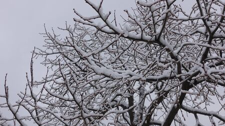 Snow Covered Tree Branches In Winter Against Overcast Clouds Background