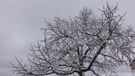 Snow Covered Tree In Winter Against White Cloudy Sky