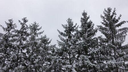 Snow Covered Pine Trees 002 Reklamní fotografie
