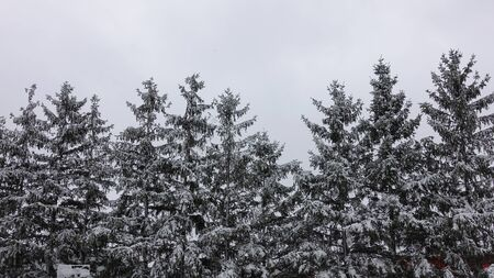 Snow Covered Pine Trees In Winter