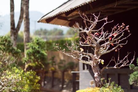 ficus: Ficus Bonsai