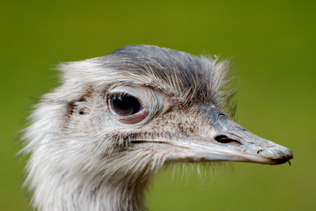 Close up of a greater rhea Stock Photo