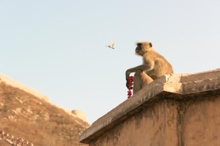 amber fort: Monkey with Beads on the wall of Amber Fort  Jaipur, India