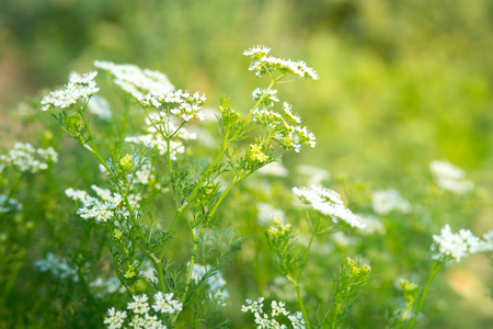 Dill Flowers Stock Photo