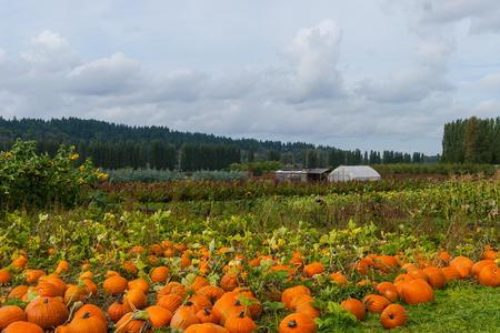 pumpkin patch: Field of ripe pumpkins