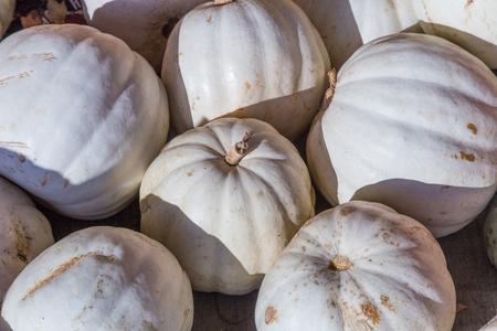albino: Harvested pile of albino pumpkins