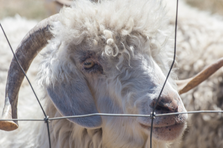 White sheep looking through a fence