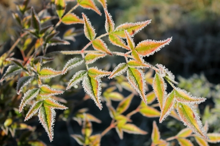 frigid: Frost-rimmed, colorful leaves on a frigid January morning