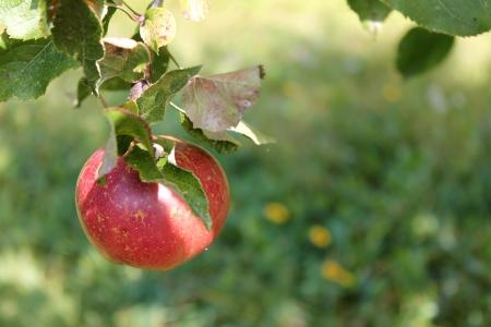 낮게 매달린 과일