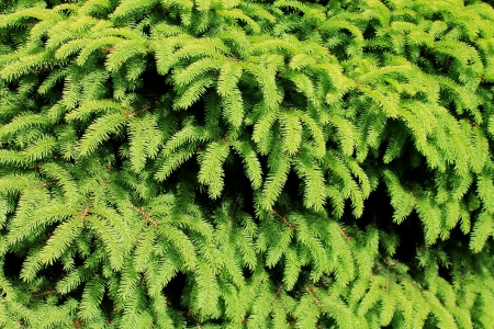 boughs: Bright green evergreen boughs on a sunny day in the Pacific Northwest