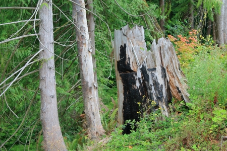 charred: Charred cedar stump in a remote Pacific Northwest forest