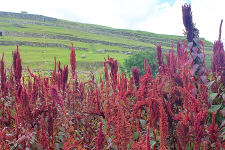 food staple: Brilliant red amaranth stalks growing among ancient Inca ruins at Pumapungo in Cuenca, Ecuador. Amaranth grain was a food staple of the ancient indigenous people of South American. Stock Photo