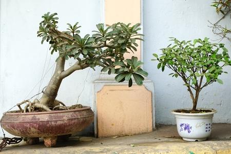 Traditional bonsai trees in ceramic pots in Hanoi Vietnam Stock Photo