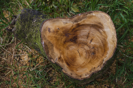 recently: Recently cut tree trunk showing rings and saw marks