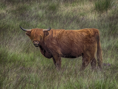 Can you see me asked the Heilan Coo