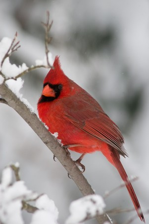 Cardinal on branch with snow 版權商用圖片