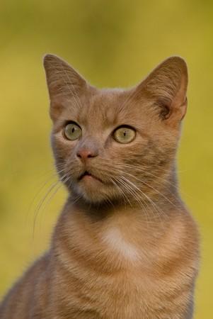 Short-hair cream tiger cat Stock fotó