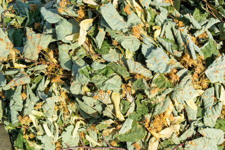 tilia cordata: Lime leaves and flowers are used in tea to add flavour and essential vitamins