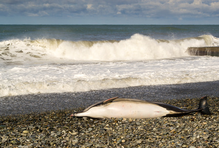obody: A dead dolphin lies on a stony beach as waves crash in the background