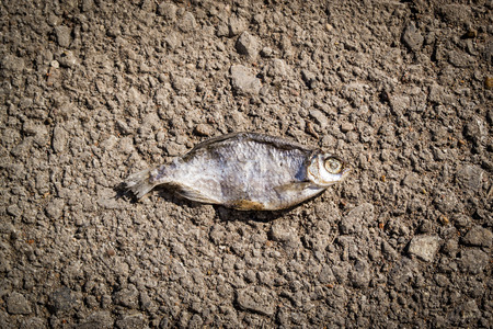 dead fish: Dead dried fish on gravel in natural sunlight Stock Photo