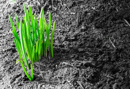 emerging: Fresh green shoots of early plant life emerging from muddy spring soil Stock Photo