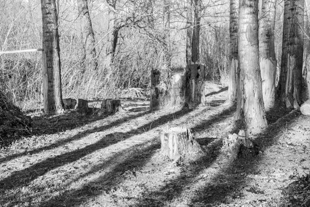 copse: Established tree trunks catch late evening light Stock Photo