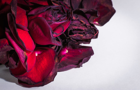 Dying red rose petals on a white background with copyspace