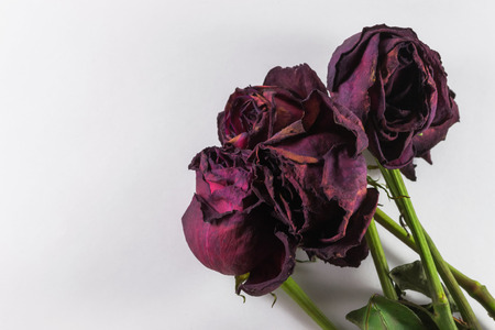 Bunch of dying red roses on a white background