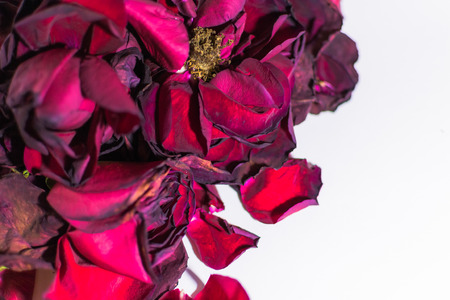 Old and dying rose petals with defocus areas on white background