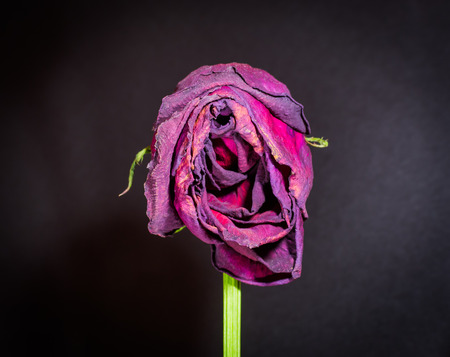 Closeup of a vertical dying rose with wilting petals on black background